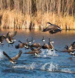 Canada Geese Management Services Ohio | Stalk & Awe Geese Management - canadian-geese-problem