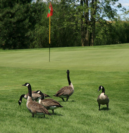 Goose Removal & Repellents Cincinnati OH | Stalk & Awe Geese Management - geese-on-golf-course