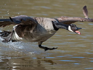 Goose Removal & Repellents Cincinnati OH | Stalk & Awe Geese Management - repeller1